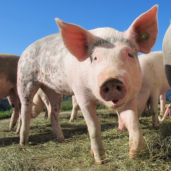 State Fund Agriculture suspends on-site checks at pig farms across the country over ASF