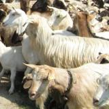 Source: Focus Information AgencyYambol: Farmers block road to four Yambol villages with ovine rinderpest outbreak