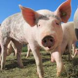 Shumen: Two outbreaks of African swine fever in East-Balkan pigs declared in Smyadovo and Veselinovo
