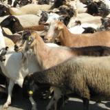 Bulgaria seeks assistance from the European Commission over bluetongue disease