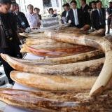 Thai customs make new three-tonne ivory seizure