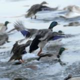 Germany introduces bird flu test for ducks, geese