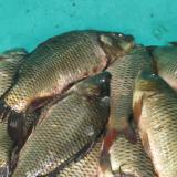 Price of carp to be BGN 6 to 6.5 per kilo for St Nicholas' Day in Bulgaria: executive