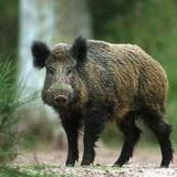 Picture: СИДП Blagoevgrad: First case of African swine fever in southwestern Bulgaria found in Iskar Hunting Farm