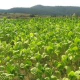 Bulgaria agriculture minister, agriculture fund head to meet with tobacco growers