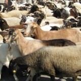 Goats that tested positive for brucellosis in Bulgaria's Rila put down