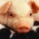 Оwners of slaughtered domestic pigs to be compensated BGN 70 per animal