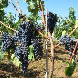 In Bulgaria winemaking is occupation, while grape harvesting – a holiday: expert