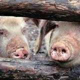 Varna: New case of African swine fever confirmed in Osenovo village