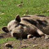 Dead wild pigs discovered near Varbitsa in Shumen district
