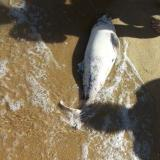 Source: Focus Information AgencyWithin a month, 15 reports of dead dolphins on Bulgaria's Varna beaches