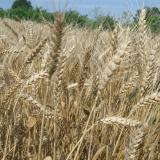 Bulgarian grain producers ready to strike