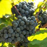 Stoyan Gerov: Vineyards in Bulgaria developing well for now