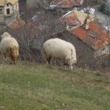 Almost every village in Bulgaria's Smolyan affected by bluetongue disease