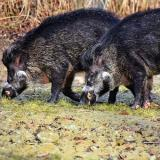 Damyan Damyanov, SSE: Third case of African swine fever confirmed in Blagoevgrad region