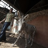 Picture: AFPEuronews: Egyptian zoo accused of painting donkey to look like a zebra