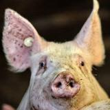 Lithuania orders pig cull amid first cases of African swine fever