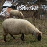 3,042 sheep die of bluetongue disease n Bulgaria: expert