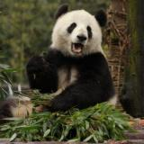 Giant panda numbers up 17%, China reports: The Guardian