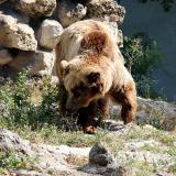 Endangered brown bear shot dead in the Kartala area