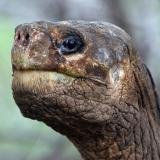 Galapagos tortoise Lonesome George: Dispute over body