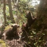 Three bear cubs rescued near Dospat to be sent to Greece for re-adaptation