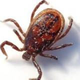 71 bit by ticks in Bulgaria's Varna last week