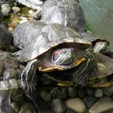 """Refugee"" wave of turtles flooding Sofia Zoo"