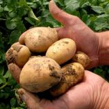 Ventsislav Kaymakanov: Potato crop in Bulgaria down 50% in 2014