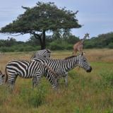 Zebras roam free in Brussels, and other animals at large