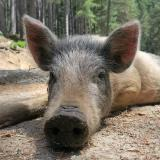 Damyan Damyanov, SSE: New case of African swine fever registered in Vitoshko-Studena State Game Reserve