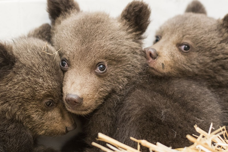 Bear cubs rescued near Dospat are under 24-hour surveillance, their chances for survival remain uncertain