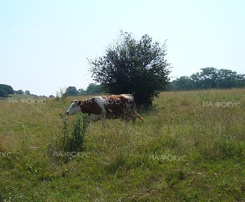 Food Safety Agency: Penka the cow is healthy, she will be returned to her owner in the village of Mazarachevo