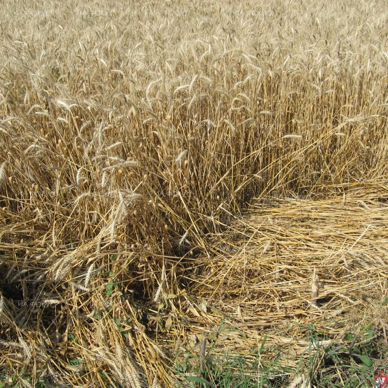Varna: Wheat crop in the region seen at 450 to 550 kg/decare