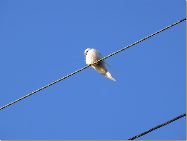 Bulgarian coastal city of Burgas - white swallow.