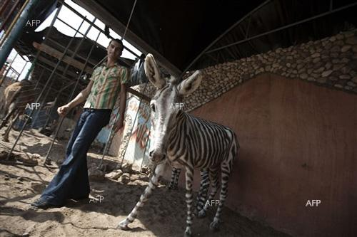 Euronews: Egyptian zoo accused of painting donkey to look like a zebra