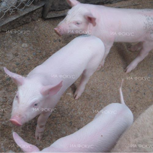 Dr. Adrian Dankov, food agency: Culling of backyard pigs in Vidin neighbourhood continues